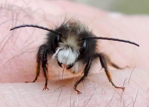 L'abeille solitaire mâle