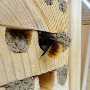 Fermature du nid par une Osmia cornuta