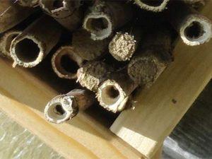 Les tunnels d'abeilles solitaires se bouchent